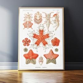 Rozgwiazdy (1904), 50x70cm